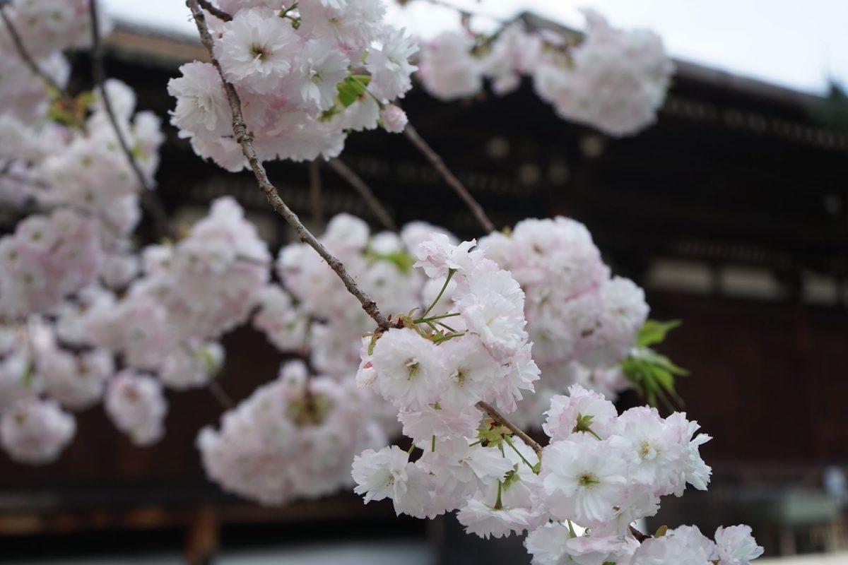 <上京の名桜~国宝の千本釈迦堂本堂前に咲く普賢象桜>(著者撮影)