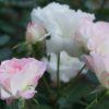 <薔薇の季節です(撮影地:中之島)>